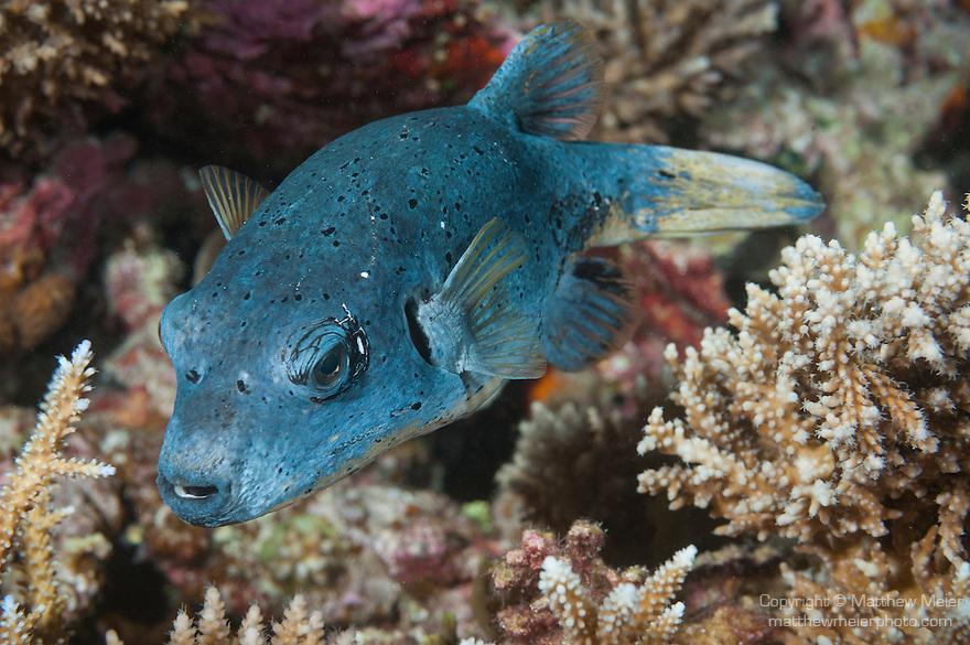 Nilandhoo House Reef, Nilandhoo Island, Huvadhoo Atoll, Maldives; a Blackspotted Puffer (Arothron nigropunctatus) fish swimming over the hard coral reef at night