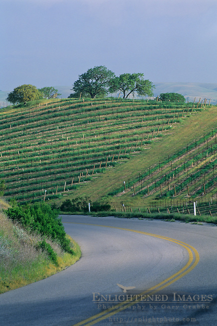 Road below grape vines on hillside vineyard, near J. Lohr, Paso Robles San Luis Obispo County, California