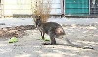 Känguruh auf der Keller-Ranch - Weiterstadt 05.08.2018: Tag der offenen Tür auf der Keller-Ranch