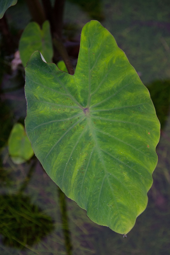 Taro (Colocasia esculenta) Leaf, 'Iao Valley State Monument, Maui, Hawaii, US
