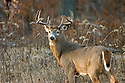00274-306.03 White-tailed Deer Buck with large body and antlers is in meadow during fall rut.  Hunt, hunting.  H7L1