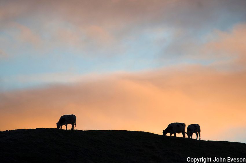 Morning sky with heifers...Copyright..John Eveson, Dinkling Green Farm, Whitewell, Clitheroe, Lancashire. BB7 3BN.01995 61280. 07973 482705.j.r.eveson@btinternet.com.www.johneveson.com