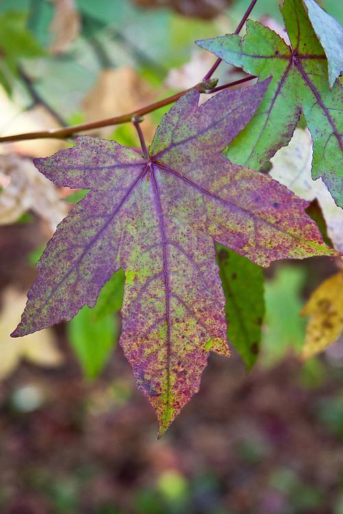 Liquidambar styraciflua, late October.