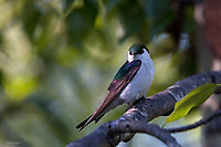 An adorable Violet-green swallow takes a break from feeding on insect on a tree branch in Hope, Alaska.