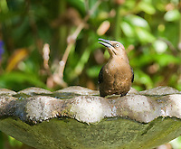 Female great-tailed grackle, Quiscalus mexicanus, in a birdbath at the Hotel Bougainvillea, San Jose, Costa Rica