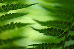 close-up / macro photograph of a fern plant