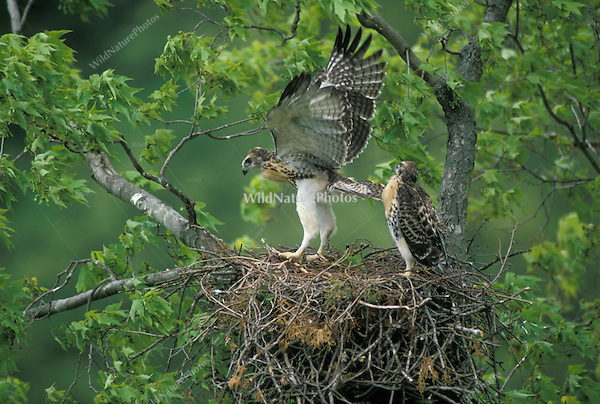 Red-tailed Hawks excercise before fledging; Indiana