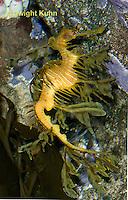 TP10-514z  Leafy Sea Dragon, Phycodurus equus or Phycodurus eques
