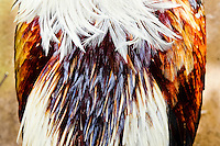 A fighting cock's feather seen in the breeding station in Cucuta, Colombia, 1 May 2006. Cockfight is a widely popular and legal sporting event in Colombia. People take advantage of cock's natural, strong will to fight. Birds are specially trained to increase their aggression, stamina and to improve their fighting techniques. They are given the best of food, care and sometimes even a doping, basically in the same way like professional athletes are. Brave cocks are highly treasured. If a fighting cock wins certain number of matches breeders keep him for reproduction and do not let him fight anymore.