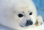 Baby Harp Seal Pup (Phoca groenlandica) Whitecoat Phase, on Pack Ice Northwest Atlantic