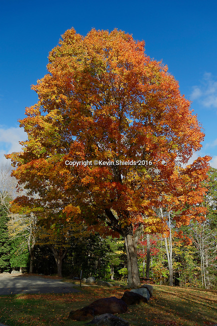 Maple tree in the Fall, Camden, Maine, USA