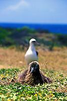 Two Laysan albatross (diomedea immutabilis) at Kaena point bird sanctuary on Oahu