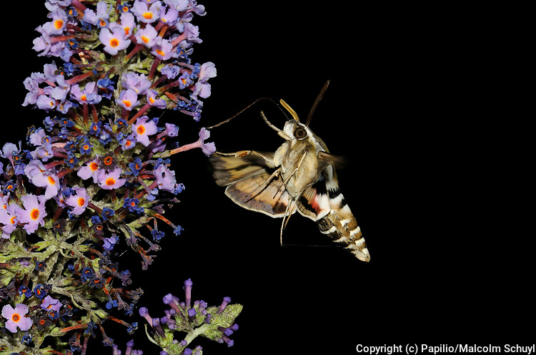 Bedstraw Hawkmoth (Hyles gallii) in flight, feeding on buddleia flowers, at night, tongue extended, Oxfordshire, UK.