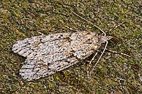Buchenmotte, Sängerin, Diurnea fagella, Tinea fagella, March Dagger Moth, la Diurne du hêtre