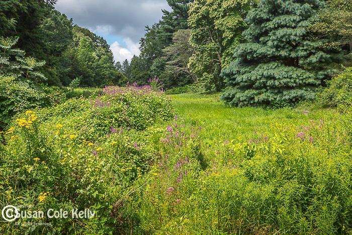 Purple Loosestrife on Bussey Brook at the Arnold Arboretum in the Jamaica Plain neighborhood, Boston, Massachusetts, USA