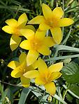 Lady Tulip flowers, Tulipa clusiana var. chrysantha