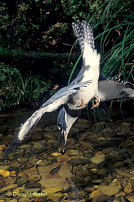 KG03-005x  Belted Kingfisher - diving for fish in stream - Megaceryle alcyon
