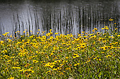 Wildflowers in Ballona Wetlands, Playa Del Rey, Los Angeles, California, USA