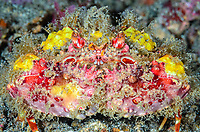 Two Horn Box Crab, Calappa bicornis, Lembeh Strait, North Sulawesi, Indonesia, Pacific