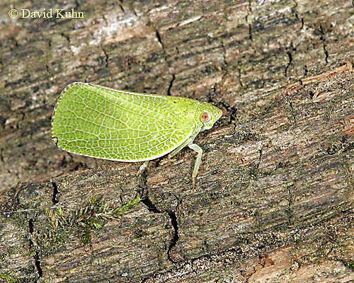 1007-06ss Acanaloniid Planthopper - Acanalonia conica - © David Kuhn/Dwight Kuhn Photography