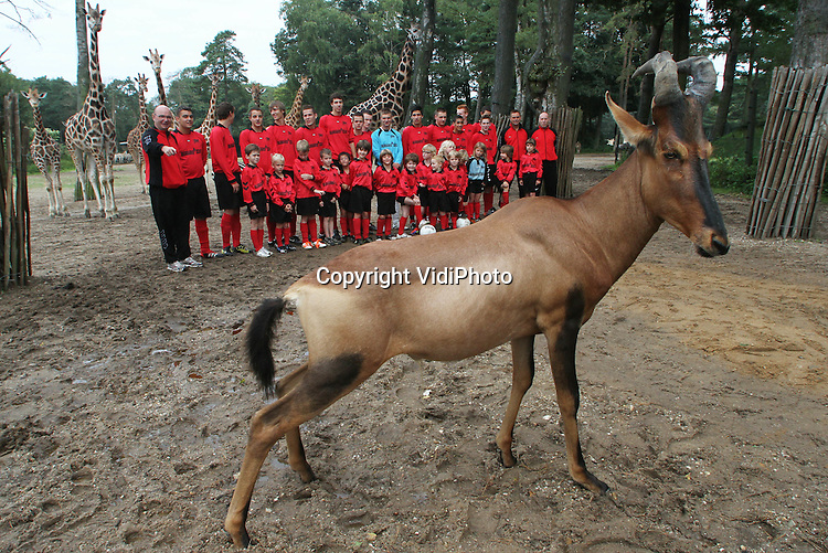 Foto: VidiPhoto..ARNHEM - Hartebeest Lucky van dierenpark Burgers' Zoo heeft zaterdag de elftalfoto's van de Arnhemse voetbalclub VDZ danig verstoord. Omdat Burgers' Zoo hoofdsponsors is geworden van de jeugdteams van VDZ, mochten de voetballertjes zaterdag op de foto met de giraffen en zebra's van het park. Lucky was het daar niet mee eens en trok alle aandacht naar zich toe. Het dier is met de hand grootgebracht omdat het verstoten werd door zijn moeder en is daarom niet bang voor mensen..