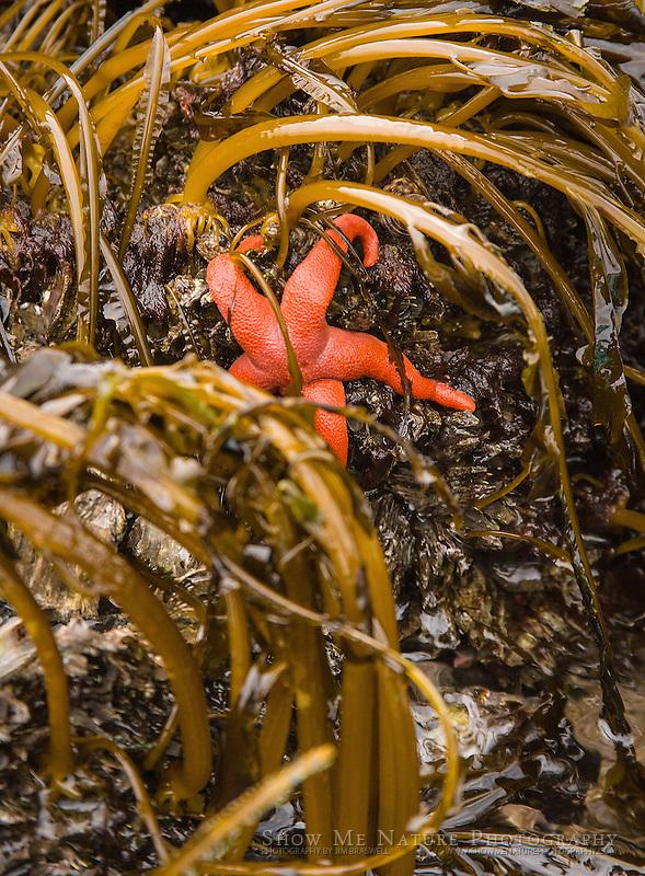 Blood Red Sea Star among aquatic plants at low tide, near Tutka Bay, Alaska
