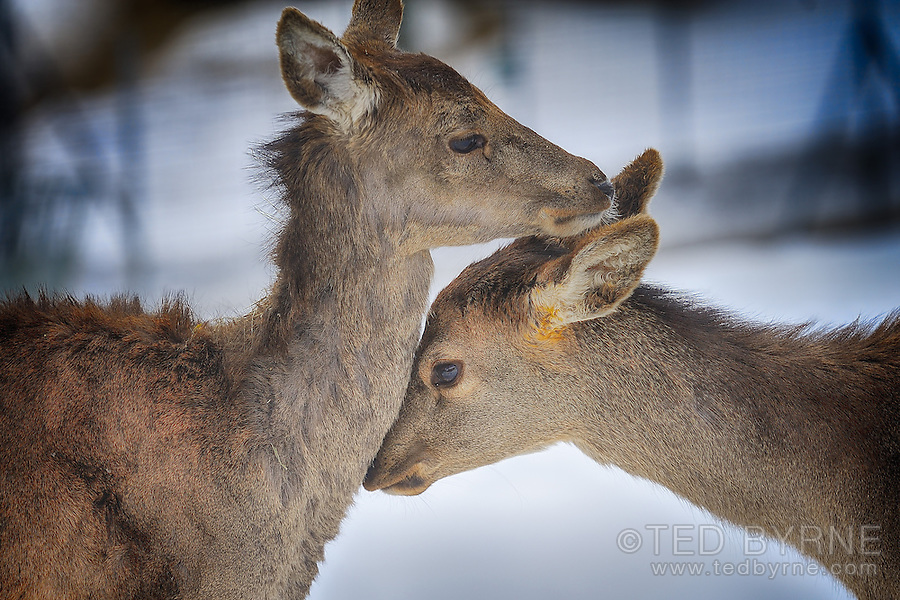 Young deer caressing its mother (captive)