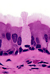 Goblet cell and ciliated columnar epithelium in the trachea. LM X450