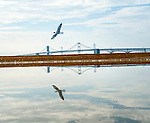 A gull flies over a pool of water, reflecting the Bay Bridge, at Sandy Point State Park early on a Saturday morning.
