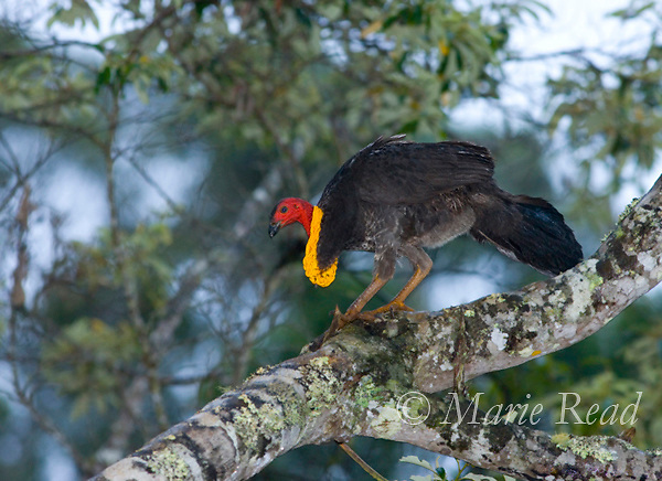 Australian Brush-Turkey (Alectura lathami), male at its roost in a tree, Lake Eacham National Park, Queensland, Australia