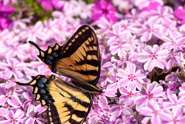 The Canadian Tiger Swallowtail butterfly loves to feed on the pink phlox in spring.