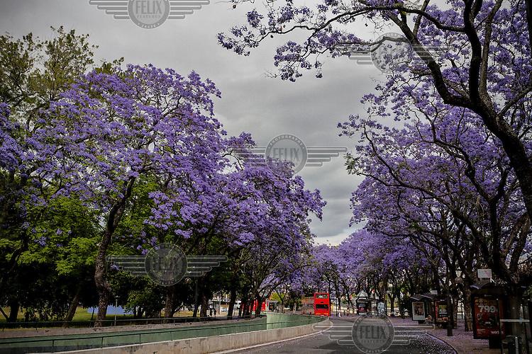Blossoming Jacaranda trees announce the summer season in the Eduardo VII Park.