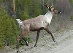Caribou, Mountain; young bull