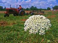 Farmer cuts hay with Queen Anne's lace flower in field