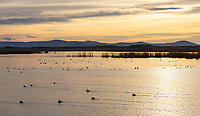 Waterfowl swam through the waters of the Lower Klamath Basin on a winter morning.