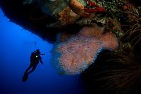 Azure vase sponge, Callyspongia plicifera, and diver, Saba, Netherlands Antilles, Caribbean Sea, Atlantic, Atlantic