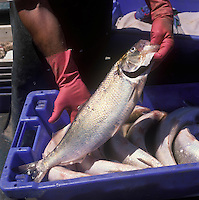 Europe/France/Aquitaine/33/Gironde/Latresne: Retour de  pêche à l'alose