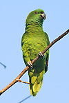 Yellow-naped Parrot