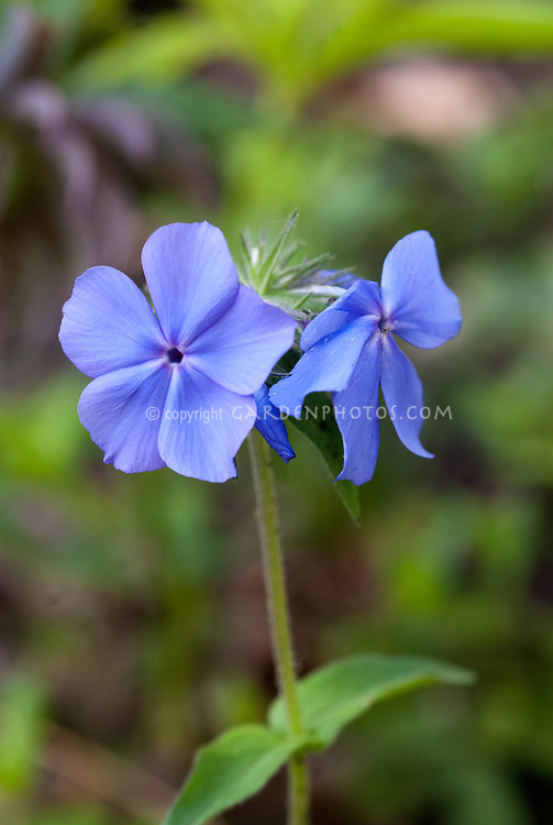 Phlox stolonifera 'Blue Ridge' woodland phlox with blue flowers perennial plant in bloom for shaded garden
