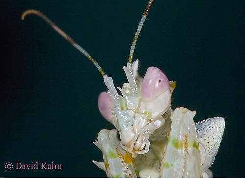 "0307-07nn  Spiny Flower Mantis (#9 Mantis) - Pseudocreobotra wahlbergii ""Female"" - © David Kuhn/Dwight Kuhn Photography"