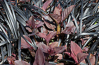 Dark foliage leaf textures - Purple Fringed Loosestrife (Lysimachia ciliata) 'Purpurea' with Ophiopogon planiscapus Nigrescens - Black Mondo Grass in San Francisco Botanical Garden