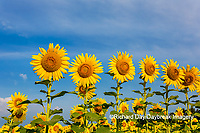 63801-07517 Sunflower field Sam Parr State Park Jasper County, IL