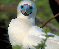 White morph of the Red Footed Booby, close up, seabirds. Red Footed Booby. Tower Island Galapagos Islands Ecuador Pacific Ocean, 650 miles west of South America. bird, birds, wildlife