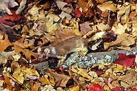 Ermine or short-tailed weasel (Mustela erminea).  Northern U.S., Fall.  Well camouflaged by leaves.