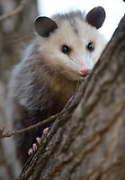 NWA Democrat-Gazette/ANDY SHUPE<br /> An opossum sits in a ginkgo tree Thursday, March 15, 2018, on East Avenue in Fayetteville. Though opossums are nocturnal animals, they can sometimes be active during the daytime when hungry, frightened from their dens or when ill.