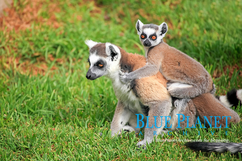 Ring-tailed Lemurs (Lemur catta), female carrying a cub on her back, captive, Madagascar, Africa