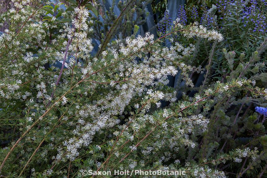 White flowering summer-dry shrub; Arlington Garden, Pasadena
