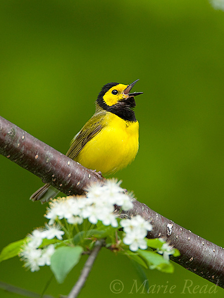 Hooded Warbler (Wilsonia citrina). male singing in spring, New York, USA