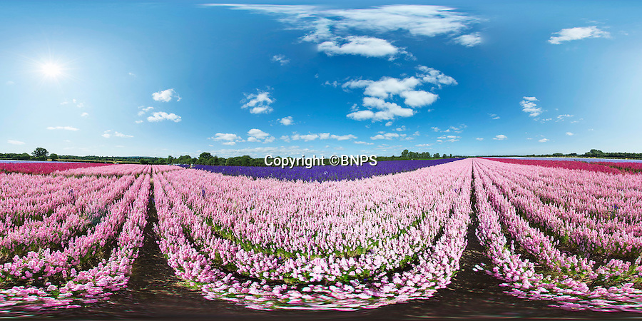 BNPS.co.uk (01202 558833)<br /> Pic: PhilYeomans/BNPS<br /> <br /> 360 Pano.<br /> <br /> The amazingly colourful field of Delphinium's blooming at the Real Flower Confetti companies headquarters in Pershore, Worcestershire. <br /> <br /> The five different coloured blooms are meticulously hand picked to go into the companies unique natural confetti.