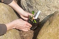 Einpflanzen eines Krautes, Pflanze, Gartenpflanze, Kräuter in Steinmauer im Garten, bepflanzen, Gartenarbeit